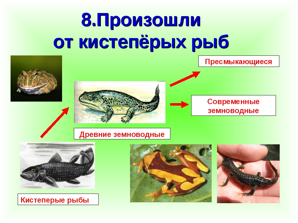 8.Произошли от кистепёрых рыб Кистеперые рыбы Древние земноводные Современные...