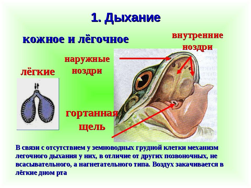 1. Дыхание кожное и лёгочное В связи с отсутствием у земноводных грудной клет...
