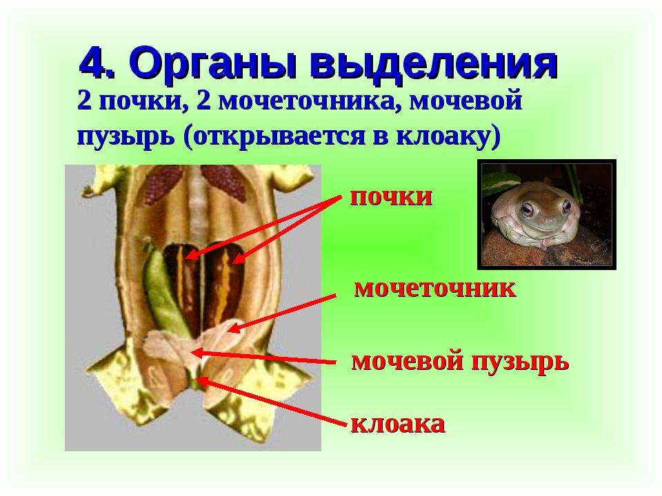 4. Органы выделения 2 почки, 2 мочеточника, мочевой пузырь (открывается в кло...