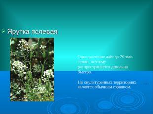 Ярутка полевая Одно растение даёт до 70 тыс. семян, поэтому распространяется