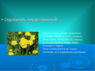 Одуванчик лекарственный Одно из самых распространенных растений. Растёт на лу