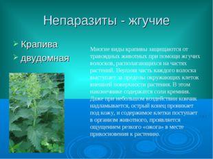 Непаразиты - жгучие Крапива двудомная Многие виды крапивы защищаются от траво