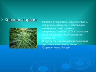 Конопля сорная Растение рудеральное, невысокое (до 60 см), редко ветвящееся,