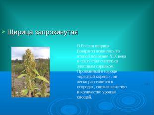 Щирица запрокинутая В России щирица (амарант) появилась во второй половине XI