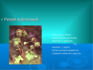 Репей войлочный Виды рода Лопух — рудеральные растения, обитают у заборов, на