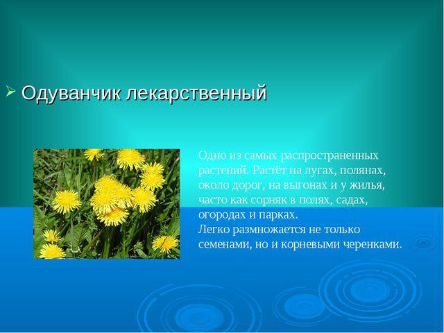 Одуванчик лекарственный Одно из самых распространенных растений. Растёт на лу...