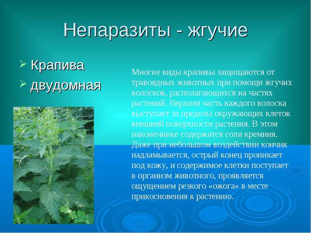 Непаразиты - жгучие Крапива двудомная Многие виды крапивы защищаются от траво...