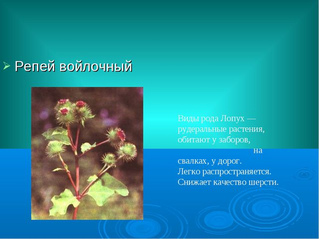 Репей войлочный Виды рода Лопух — рудеральные растения, обитают у заборов, на...