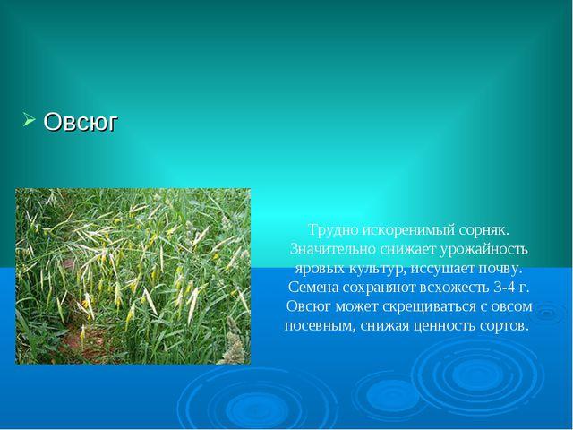 Овсюг Трудно искоренимый сорняк. Значительно снижает урожайность яровых культ...