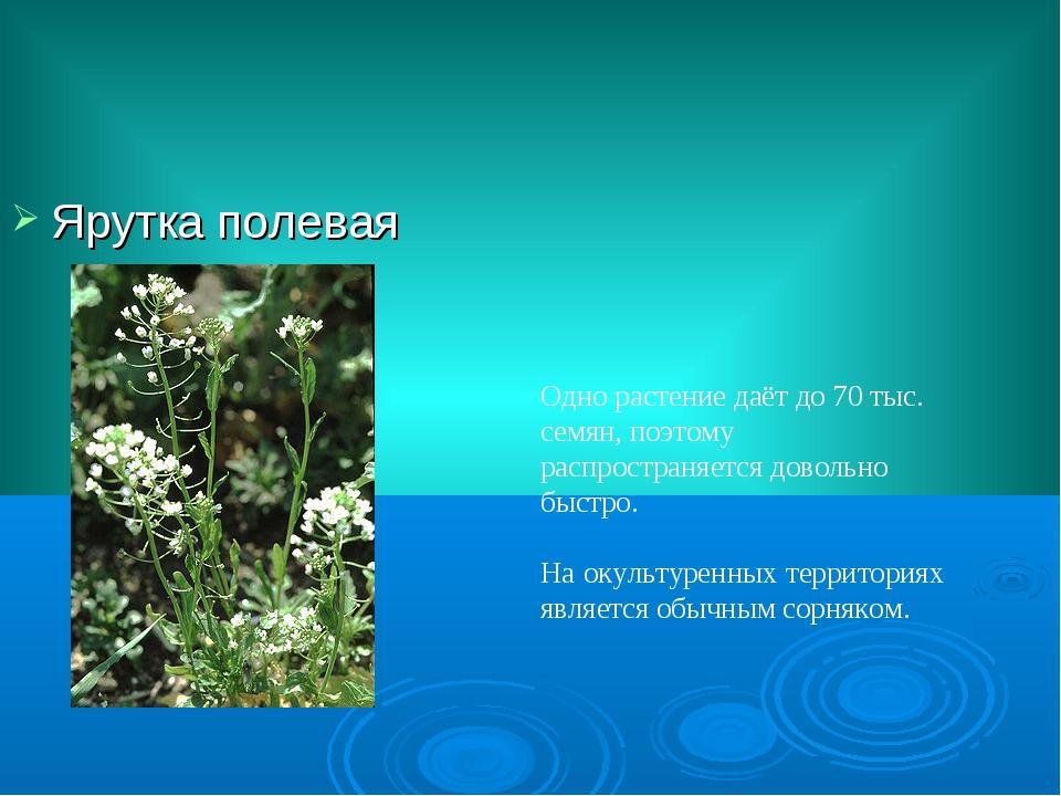 Ярутка полевая Одно растение даёт до 70 тыс. семян, поэтому распространяется...