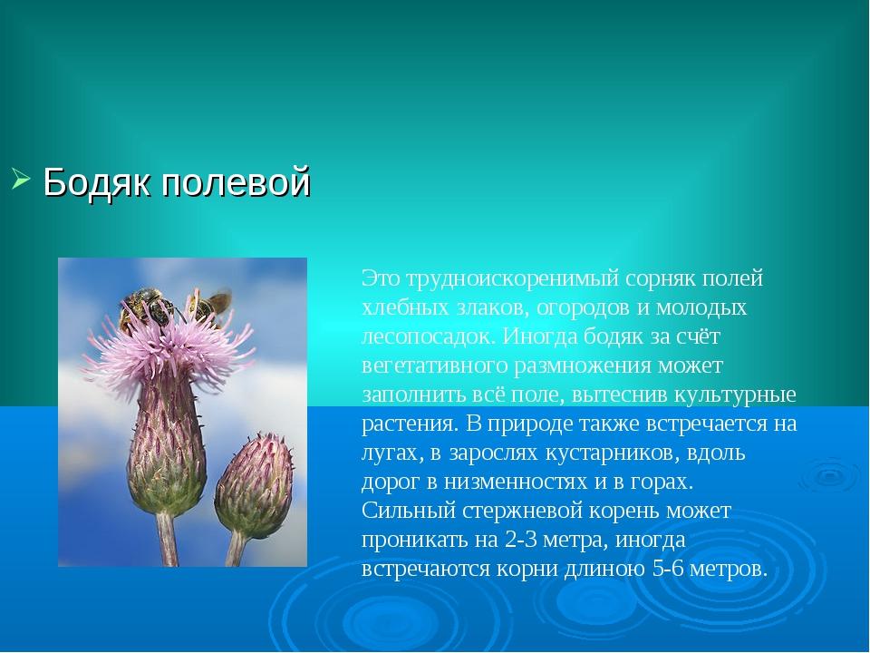 Бодяк полевой Это трудноискоренимый сорняк полей хлебных злаков, огородов и м...