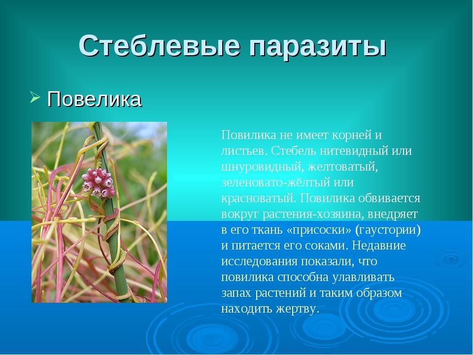 Стеблевые паразиты Повелика Повилика не имеет корней и листьев. Стебель нитев...