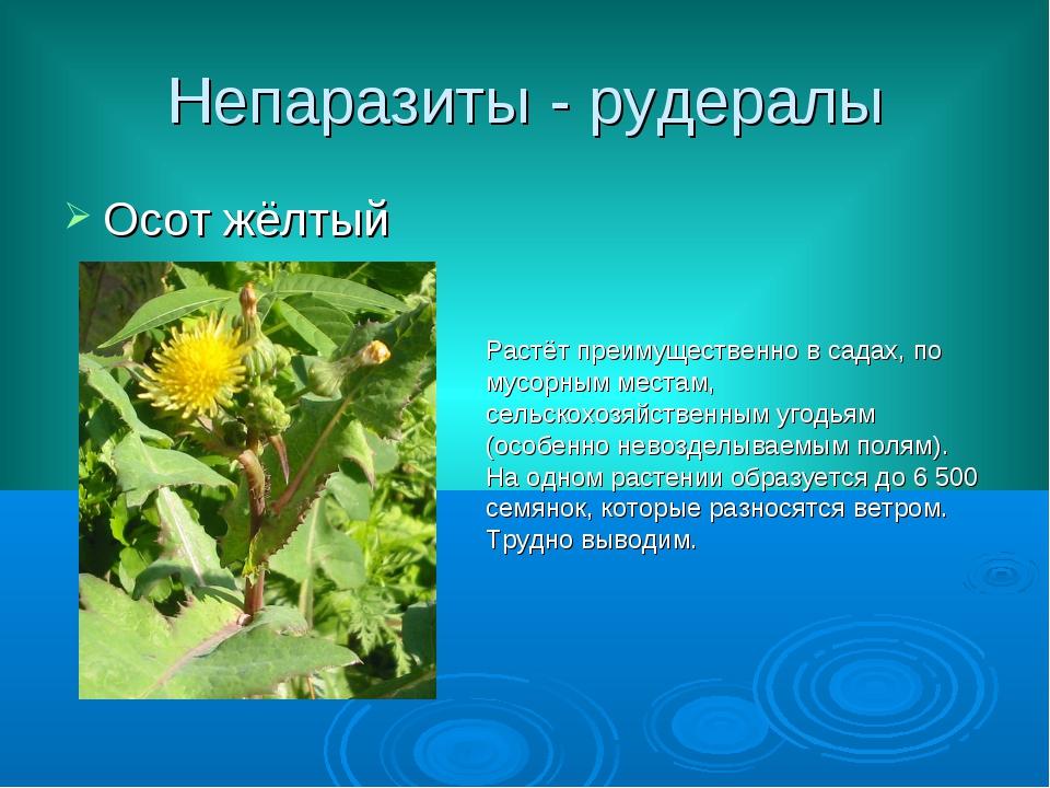 Непаразиты - рудералы Осот жёлтый Растёт преимущественно в садах, по мусорным...