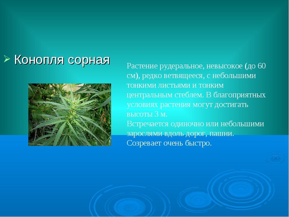 Конопля сорная Растение рудеральное, невысокое (до 60 см), редко ветвящееся,...