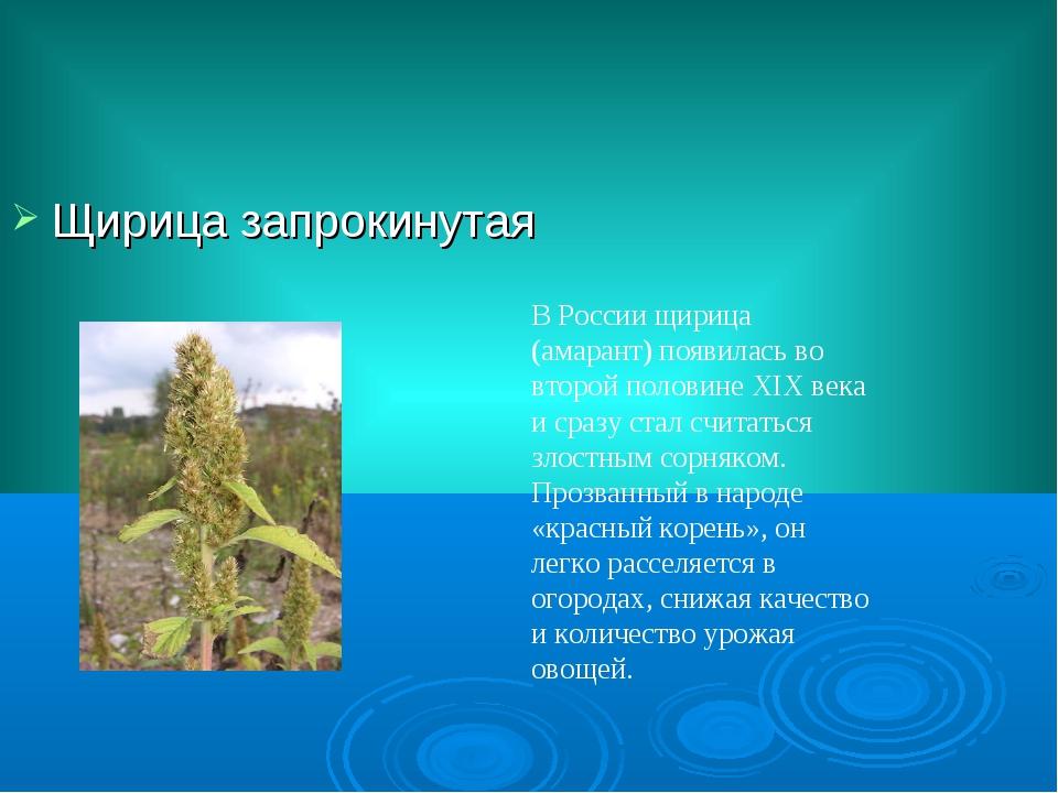 Щирица запрокинутая В России щирица (амарант) появилась во второй половине XI...