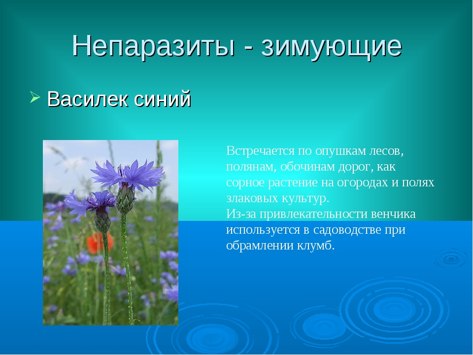 Непаразиты - зимующие Василек синий Встречается по опушкам лесов, полянам, об...