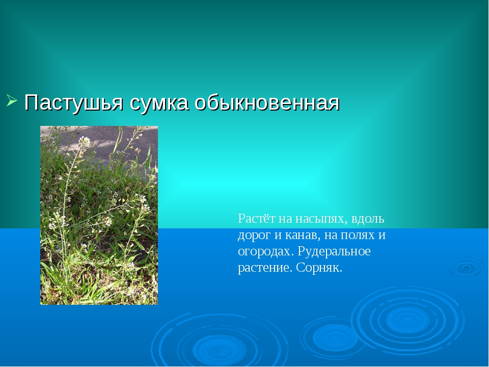 Пастушья сумка обыкновенная Растёт на насыпях, вдоль дорог и канав, на полях...