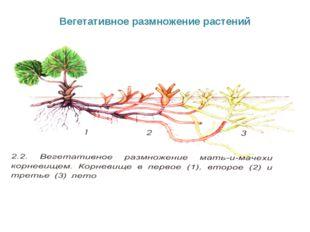 Вегетативное размножение растений