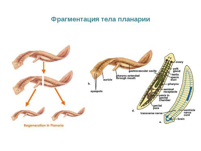 Фрагментация тела планарии