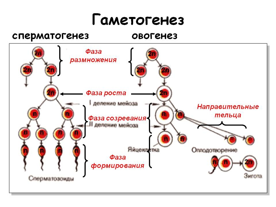 Гаметогенез