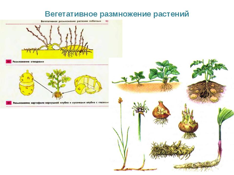 Картинки способы размножения растений