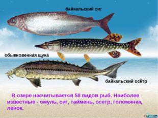 В озере насчитывается 58 видов рыб. Наиболее известные- омуль, сиг, таймень