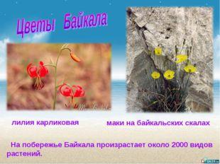 На побережье Байкала произрастает около 2000 видов растений. лилия карликова