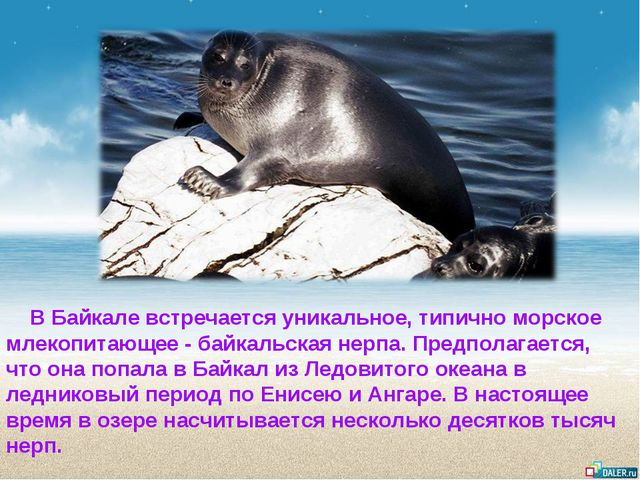 В Байкале встречается уникальное, типично морское млекопитающее- байкальска...
