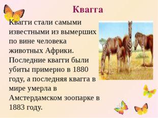 Квагга Квагги стали самыми известными из вымерших по вине человека животных А