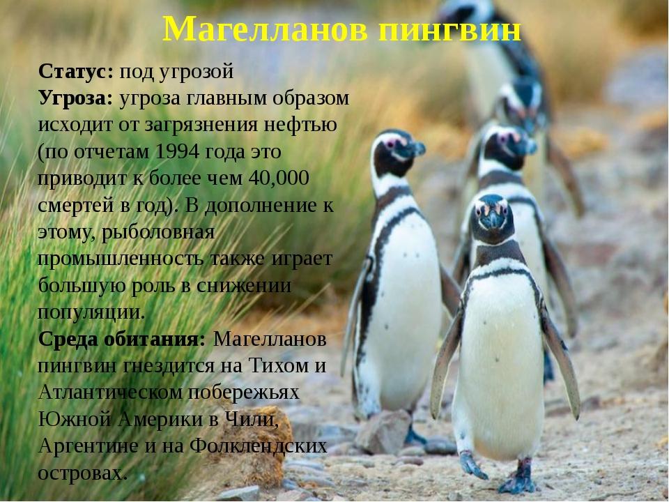 Магелланов пингвин Статус: под угрозой Угроза: угроза главным образом исходит...