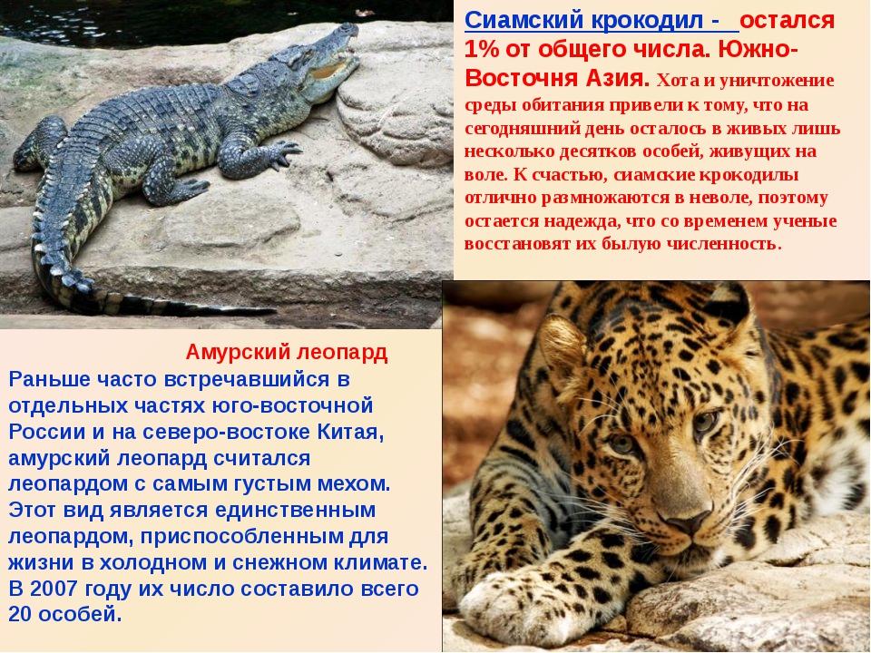 Амурский леопард Сиамский крокодил - остался 1% от общего числа. Южно-Восточн...