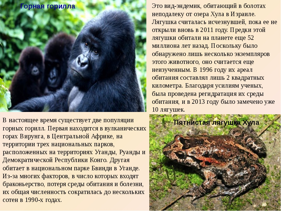 Горная горилла В настоящее время существует две популяции горных горилл. Пер...