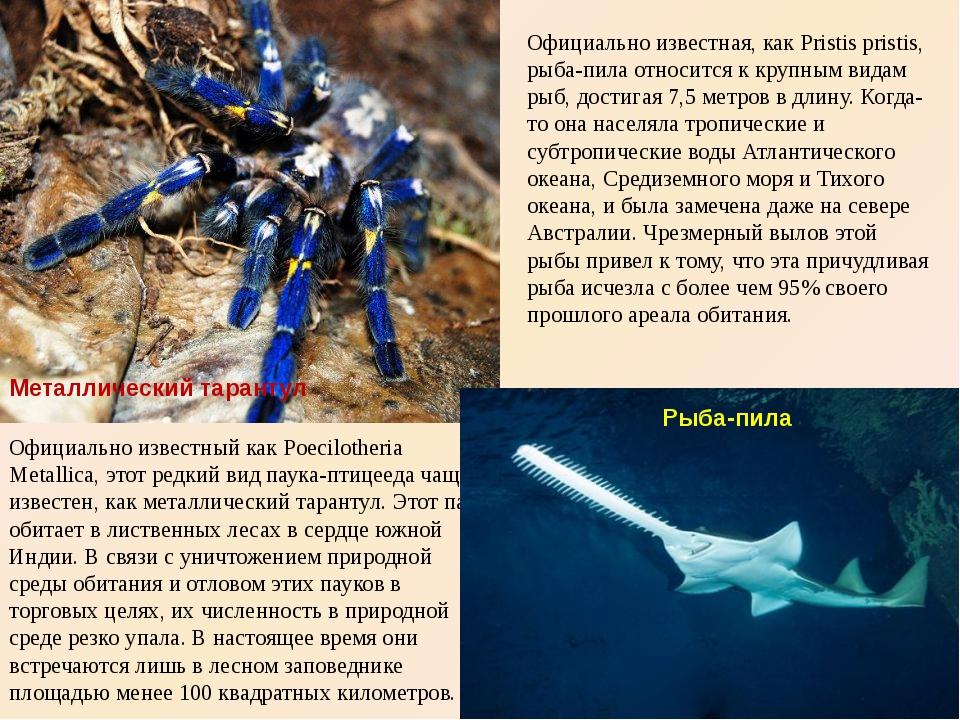 Металлический тарантул Официально известный как Poecilotheria Metallica, этот...