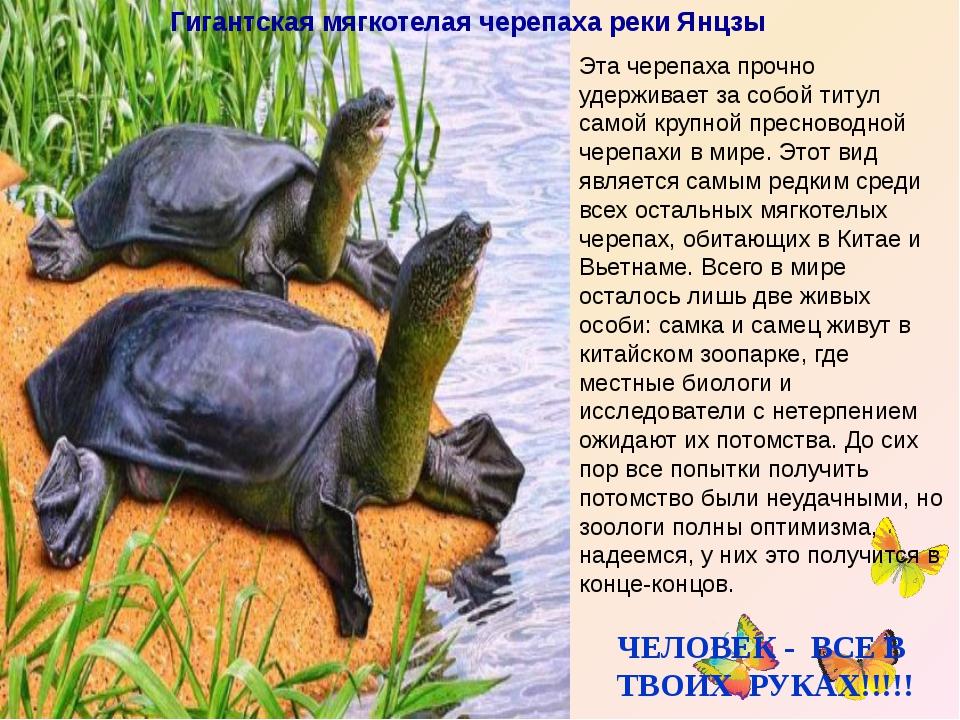 Гигантская мягкотелая черепаха реки Янцзы Эта черепаха прочно удерживает за...