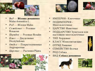 Вид — Яблоня домашняя Malus domestica L . Род — Яблоня Malus Семейство — Розо