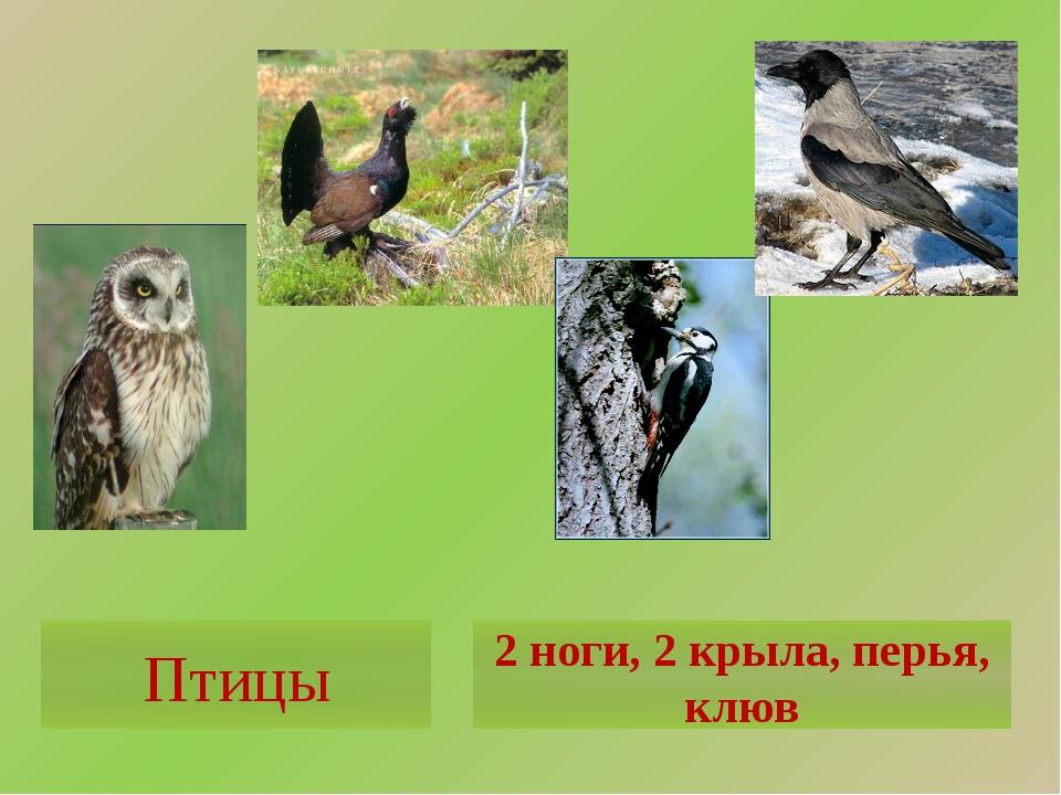 Птицы 2 ноги, 2 крыла, перья, клюв