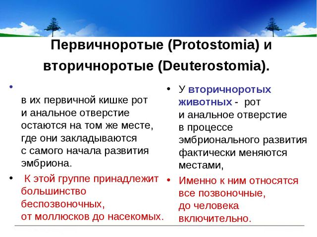 Первичноротые (Protostomia) и вторичноротые (Deuterostomia). У вторичноротых...