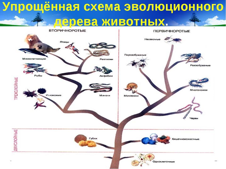 Упрощённая схема эволюционного дерева животных.