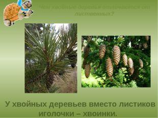 Чем хвойные деревья отличаются от лиственных? У хвойных деревьев вместо листи