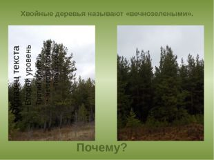 Хвойные деревья называют «вечнозелеными». Почему?