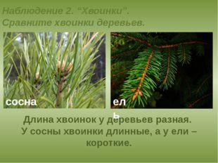 """Наблюдение 2. """"Хвоинки"""". Сравните хвоинки деревьев. Длина хвоинок у деревьев"""