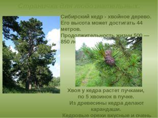 Сибирский кедр- хвойное дерево. Его высота может достигать 44 метров. Продо