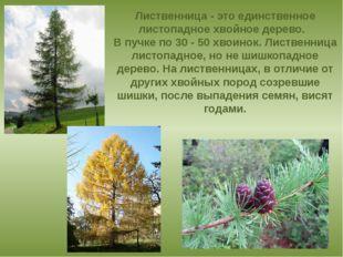 Лиственница - это единственное листопадное хвойное дерево.  В пучке по 30 -