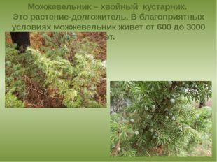 Можжевельник – хвойный кустарник. Это растение-долгожитель. В благоприятных у