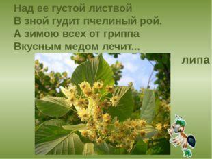 Над ее густой листвой В зной гудит пчелиный рой. А зимою всех от гриппа Вкусн