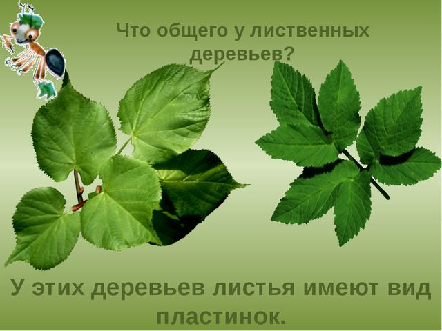 Что общего у лиственных деревьев? У этих деревьев листья имеют вид пластинок.
