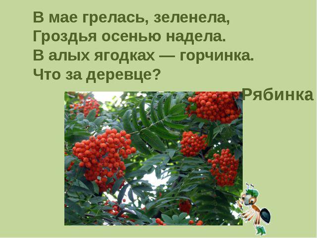 В мае грелась, зеленела, Гроздья осенью надела. В алых ягодках — горчинка. Чт...