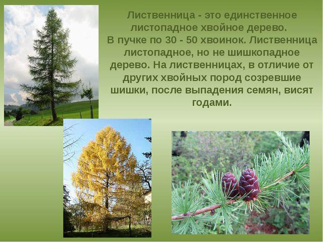 Лиственница - это единственное листопадное хвойное дерево.  В пучке по 30 -...