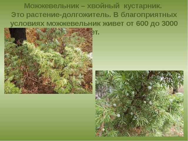 Можжевельник – хвойный кустарник. Это растение-долгожитель. В благоприятных у...