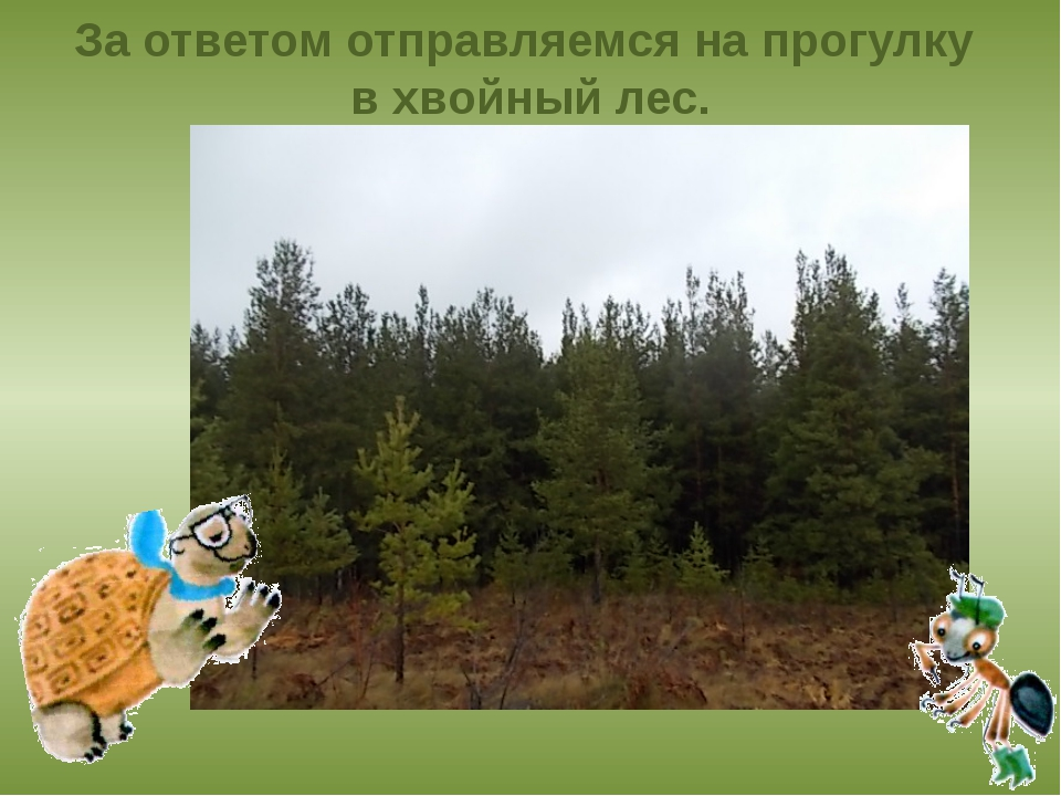 За ответом отправляемся на прогулку в хвойный лес.